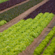 Lettuce crop — Stock Photo
