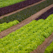 Lettuce field — Stock Photo #1382268