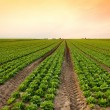 Lettuce crop — Foto Stock