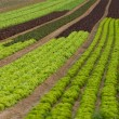 Stock Photo: Lettuce crop