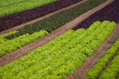 Lettuce field — Stock Photo