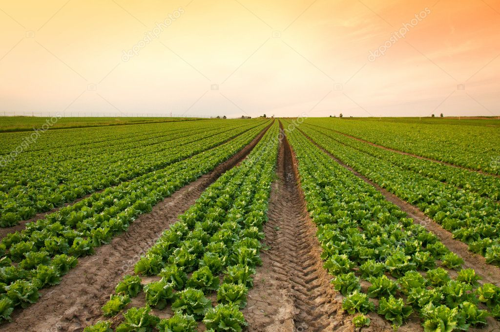 Sunset over a field of lettuce — Stock Photo #1382651