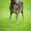 Deer — Stock Photo #1403749