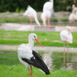White stork — Stock Photo #1403783