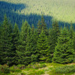 Alpine trees — Stock Photo