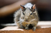 Rodent sits on a rock. Photos from a great depth of field — Stock Photo