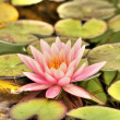 Closeup View of Water Lily - Stock Photo