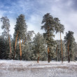 Stock Photo: Winter pine forest 2