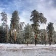 Winter pine forest 2 — Stock Photo