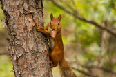 Squirrel with cone — Stock Photo