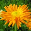 Calendula, a medicinal plant — Stock Photo