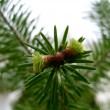 Stock Photo: Young fir