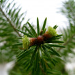 Young fir — Foto Stock