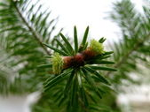 Young fir — Stock Photo