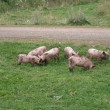6 small pigs — Stock Photo #1225313