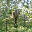 Nest of wasps - 