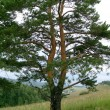 Double pine — Stock Photo #1254086