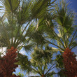 Leaves of a fan palm tree — Stock Photo