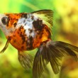 Goldfish in aquarium — Stock Photo #1283781