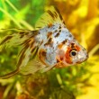 Goldfish in aquarium - Stock Photo
