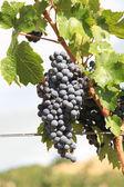 Grapes crop. — Stock Photo