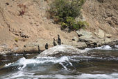 Colony crested cormorants on stones — Stock Photo