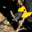 Stock Photo: Autumn pruning