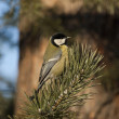 Royalty-Free Stock Photo: Titmouse.