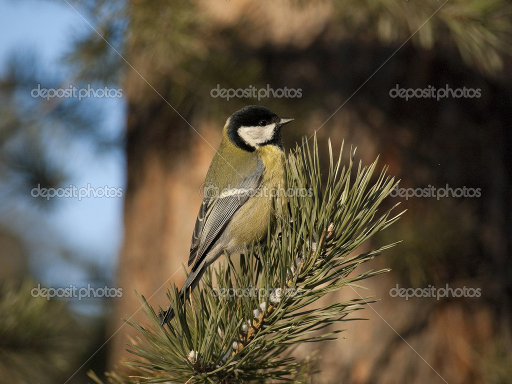 The titmouse sits on a branch of a fur-tree. — Stock Photo #1409676