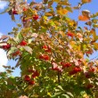 Guelder-rose - Stock Photo