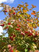 Kalina růže — Stock fotografie