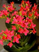 Kvetoucí calanchoe — Stock fotografie