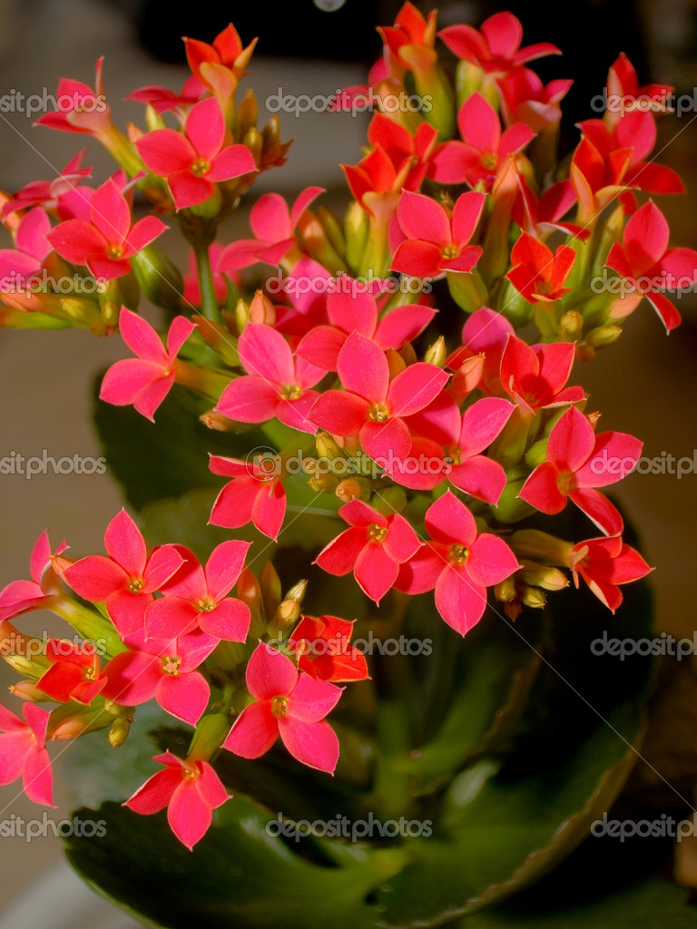 Blossoming Calanchoe — Stock Photo #2611658