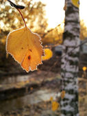 Frozen birch leaves — Stock Photo