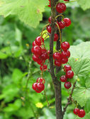 Bunch of ripe red currants — Stock Photo