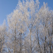 Royalty-Free Stock Photo: Birch trees with hoarfrost