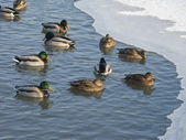 Flock of ducks in winter pond — Stock Photo
