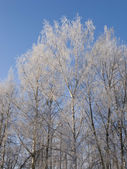 Birch trees with hoarfrost — Stock Photo