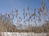 Reed on frozen lake — Stock Photo