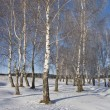 Birch grove with hoarfrost — Stock Photo