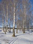 Birch grove with hoarfrost — Stock Photo