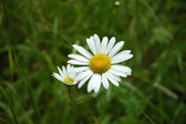 Camomile on the meadow — Stock fotografie