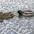 Pair of ducks in water — Stock Photo
