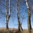 Stock Photo: Birches in winter forest