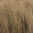 Dry yellow grass background — Stock Photo