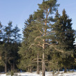 Stock Photo: Pine trees in winter forest