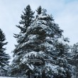 Pine trees in winter forest — Stock Photo #1351335