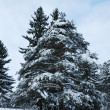 Pine trees in winter forest — Photo #1351335