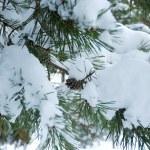 Pine branch under snow — Stock Photo