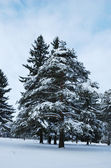 Pine trees in winter forest — Stock fotografie